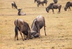 Wildebeest fight Stock Images