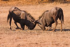 Wildebeest Fighting Royalty Free Stock Photo