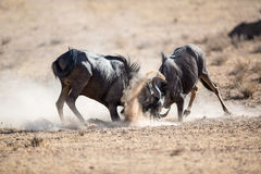 Wildebeest fighting. Two Blue Wildebeest locking horns in a vicious battle for dominance. Dust and sand everywhere Royalty Free Stock Photography