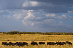 Wildebeest are following each other in the savannah. Great Migration. Kenya. Tanzania. Masai Mara National Park. An excellent illustration stock photography