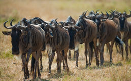 Wildebeest are following each other in the savannah. Great Migration. Kenya. Tanzania. Masai Mara National Park. Royalty Free Stock Photo