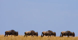Wildebeest are following each other in the savannah. Great Migration. Kenya. Tanzania. Masai Mara National Park. Royalty Free Stock Images