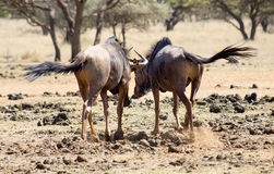 Wildebeest friends Royalty Free Stock Photos