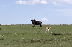 Wildebeest and gazelle Stock Images