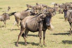 Wildebeest (GNU) antilope Royalty-vrije Stock Afbeeldingen