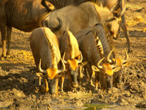 Southern african animals. Wildebeest (Gnu) drinking at waterhole Stock Photography