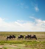 Wildebeest, gnu na Afrykańskiej sawannie Obraz Royalty Free