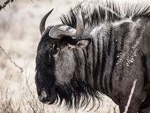 Wildebeest gnu profile Royalty Free Stock Image