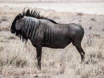 Wildebeest gnu profile Royalty Free Stock Photography