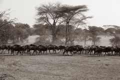 Wildebeest - Gnus στο μεγάλο χρόνο μετανάστευσης στη σαβάνα Serengeti, Τανζανία, Αφρική στοκ εικόνα