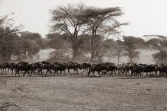 Wildebeest - Gnus in grote migratietijd in Savanne van Serengeti, Tanzania, Afrika stock afbeelding
