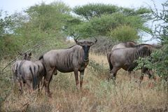Wildebeest grazing Stock Photos