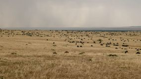 Wildebeest grazing in masai mara game reserve, kenya. Wide angle shot of wildebeest grazing with rain in the background at masai mara game reserve, kenya stock photography
