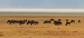 Wildebeest Grazing on the Savannah Royalty Free Stock Images