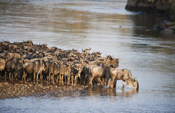 Wildebeest Great Migration, Kenya Royalty Free Stock Photos