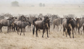 Wildebeest in the Great migration, Kenya Royalty Free Stock Image