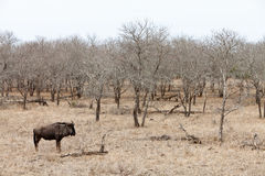 Wildebeest in a grey landscape Royalty Free Stock Photography
