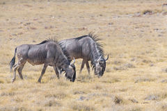 Wildebeest group Royalty Free Stock Photos