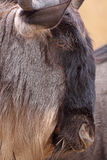 Wildebeest Head. Close up of a blue wildebeest's head in profile, taken in the Ngorongoro crater, Tanzania Stock Image