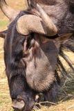 Wildebeest head close-up Stock Photos