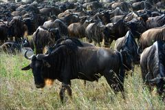 Wildebeest herb. Royalty Free Stock Photo