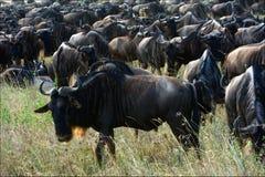 Wildebeest herb. royalty free stock photo