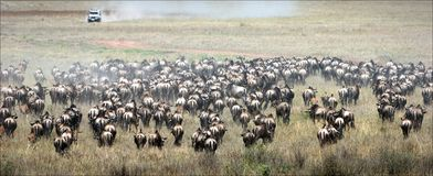 Wildebeest herb. Royalty Free Stock Image