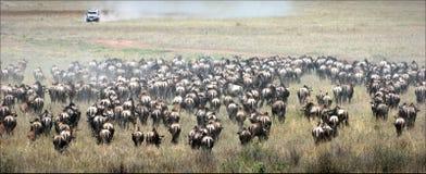 Wildebeest herb. royalty free stock image
