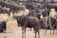 Wildebeest Herd. A small herd of wildebeest in the Ngorongoro Crater, Tanzania Royalty Free Stock Photos