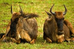 Wildebeest herd royalty free stock photo