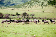 Wildebeest Herd Royalty Free Stock Images