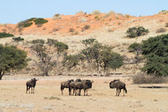 Wildebeest herd Stock Images