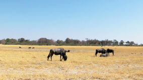 Wildebeest herd stock video