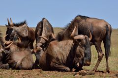 Wildebeest Herd gathering for nutrition Stock Photo
