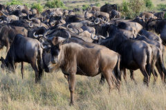Wildebeest herd on the lawn. At masi mara national park Stock Photo