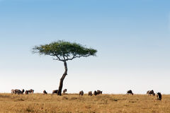 Wildebeest herd Masai Mara Kenya Africa Royalty Free Stock Photography