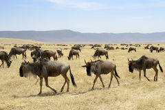 Wildebeest herd Stock Photo