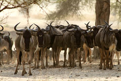 Wildebeest Herd Staredown Royalty Free Stock Photos