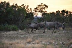 Wildebeest Herd at Sunset stock image