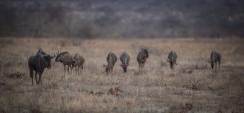 Wildebeest_herd_walking fotografie stock