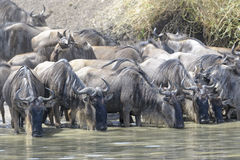 Wildebeest herd in water drinking Royalty Free Stock Image