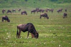 Wildebeest Stock Photos