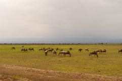 Wildebeest herds grazing in the savannah of Amboseli. Au Kenya Stock Photography