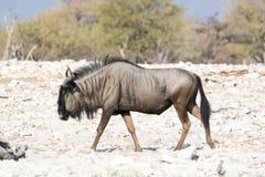 Wildebeest het lopen Stock Fotografie