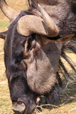Wildebeest hoofdclose-up Stock Foto's