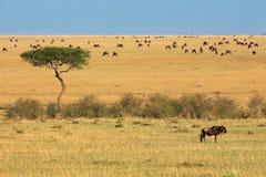 Wildebeest i drzewo Obrazy Royalty Free