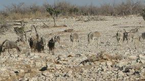Wildebeest i zebry odprowadzenie Fotografia Stock