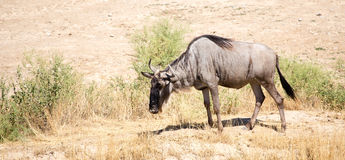 Free Wildebeest In The Park Stock Image - 97653801