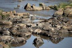 Wildebeest inoperante no rio, Tanzânia Imagem de Stock Royalty Free