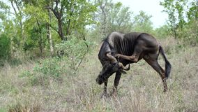 Wildebeest with itchy back stock video footage